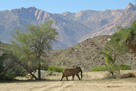 Desert elephants in north-western Namibia